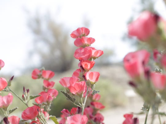 Apricot Mallow can be seen growing at the Santa Rosa and San Jacinto Mountains National Monument Visitor Center. These flowers were photographed on March 2, 2016.