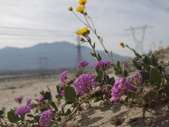 Sand verbena were photographed Wednesday to the north of Varner Road near the Date Palm Drive on county land.