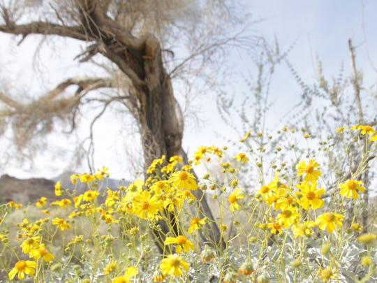 This Desert Sun file photo shows a flower festival at the Santa Rosa and San Jacinto Mountains National Monument Visitor Center in March 2016. Wildflowers are expected to spread across the Coachella Valley thanks to recent rainfall.