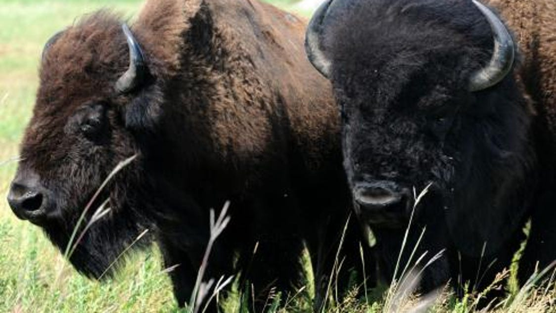 A Bison Eats Grant to help Indian s...