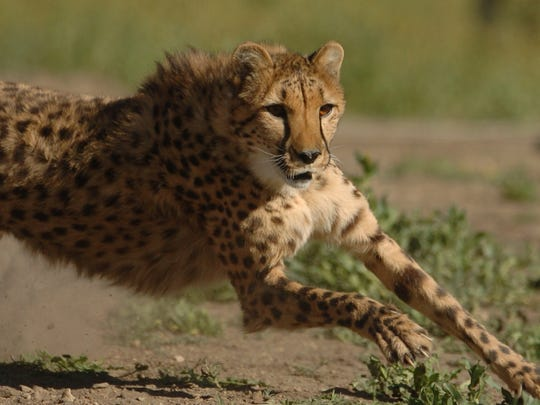 Animal Ark's cheetah run offers a close-up look at the world's fastest land mammal on Sept. 21.