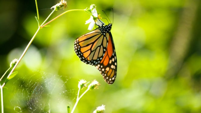 A monarch butterfly depends on only a few of the many species of milkweed for reproduction.