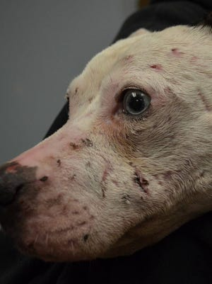 This is how Ophelia, who was used for dogfighting, looked when she arrived at the Cumberland County SPCA.