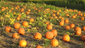 In the fall, visitors are invited to pick their own pumpkins and participate in autumn and Halloween activities including hayrides.