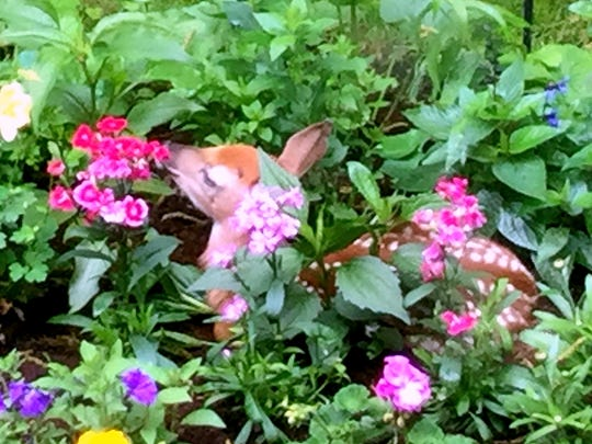 This fawn is the second one Lori Wheet has found in her flower garden in the last eight years.