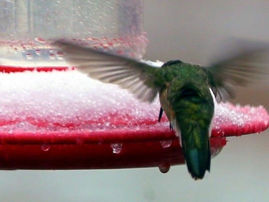 A hummingbird tries to get through the ice to the nectar