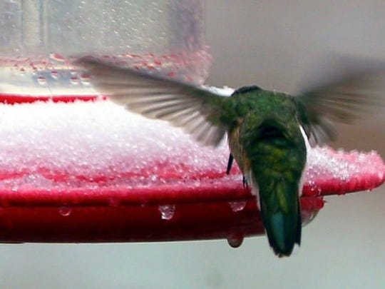 A hummingbird tries to get through the ice to the nectar inside.