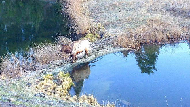 Elk are frequently seen along the Beaver Pond Loop.