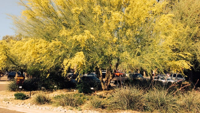This mature palo verde developed a huge canopy.