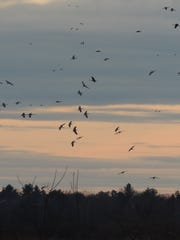 Sandhills circle into the wetland roost at sunset,