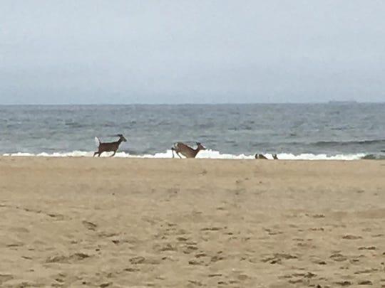 Adam Holloway said he saw three deer run into the ocean near Manasquan Inlet