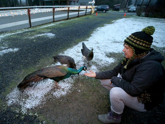Randee Morrow feeds one of the peacocks as she and volunteers prepare for the start of a Winter Farm Night at The Animal Experience in Port Orchard. Winter Farm Nights allow families a chance to tour The Animal Experience and learn about the critters who live there.
