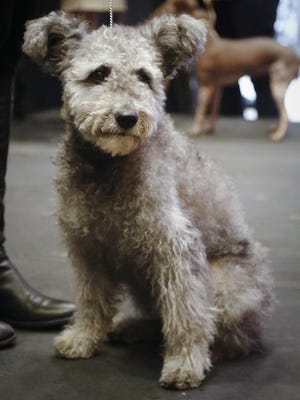 Zsa Zsa, a Pumi breed owned by Nancy Nelson from Norwalk, Conn.