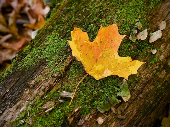 A colorful leaf sits on a moss-covered tree at the