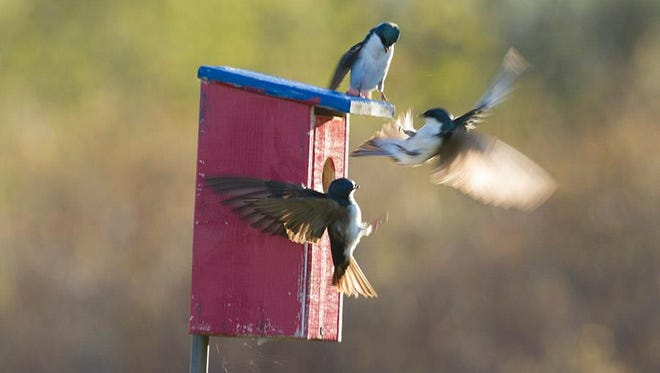 Tree swallows argue over a nest box at Woodland Dunes Nature Center and Preserve.