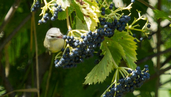 A warbling vireo eating viburnum berries at Woodland Dunes.