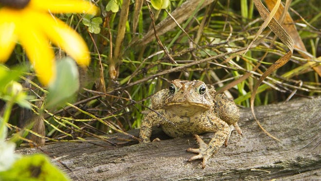 American toad at Woodland Dunes.