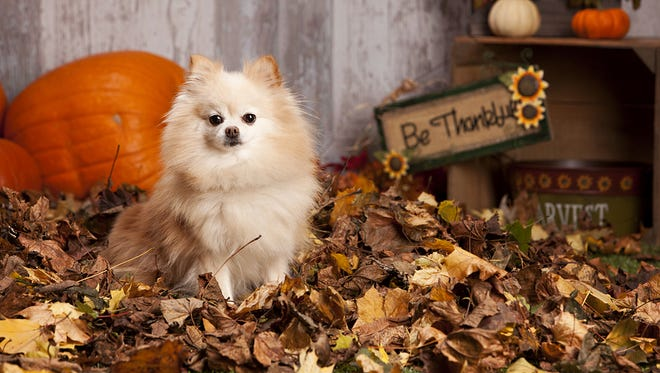 The smells of food fills the air and even though it might be tempting to give your pet a treat please remember that there are a lot of pet specific treats that are not harmful to your pet, but human treats can often be harmful for your pet.