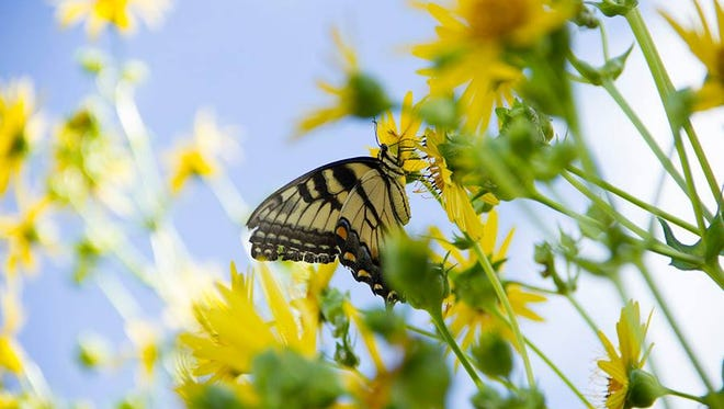 Tiger swallowtail feeding on cup-plant flower at Woodland Dunes.