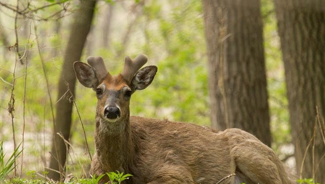 Bucks (male deer) grow antlers to attract females (does) and to fight off other bucks over territory or does.