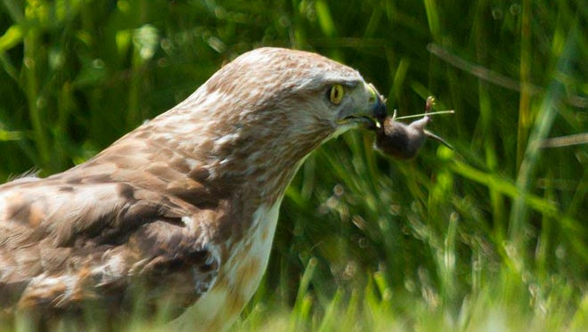 Red-tailed hawk eating a mouse.