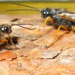 Scientists have designed brain surgery equipment after female European Woodwasps' ovipositors to reduce risks and healing time.