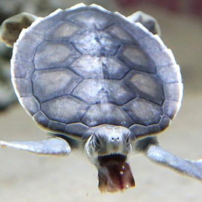 A baby flatback sea turtle is fed at the Sea Life Sydney