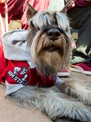 A dog named Geezer wears his NMSU gear to support the