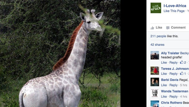 Researchers recently caught a glimpse of a white giraffe named Omo in the Tanzania's Tarangire National Park.