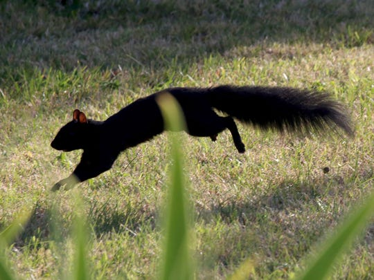 Black squirrels squirrel away on a fall day in Detroit on Friday, Oct. 23, 2015.