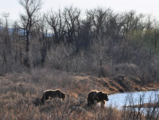 Two sub-adult grizzly bears were seen on Don and Ida