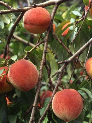 The Redhaven peach is a high quality freestone peach for Ohio growing. It ripens in early to mid-August.