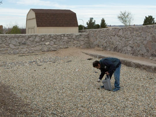 Henry Maestas, owner and operator of Dog Gone Poop, uses latex gloves to pick up dog waste when a client has a gravel covered backyard. He said its much easier to do than to try and separate the gravel from the waste with a rake and pan. February 17, 2017.
