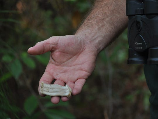 Turtle shells can be found near the pair of eagles' nest in the Kisatchie National Forest near Kincaid Lake. The shells are left from the turtles the eagles eat.