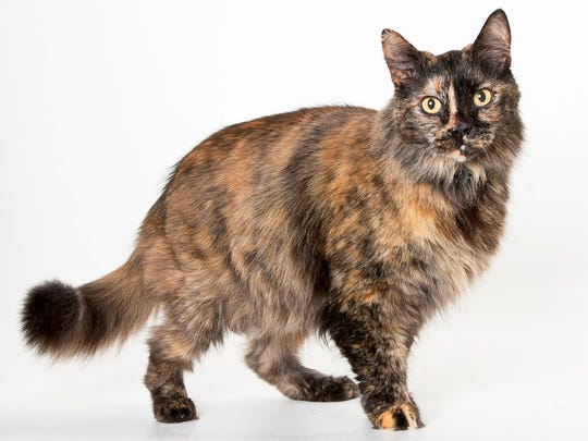 Butter, 12-year-old female domestic long hair cat. No. 97371.