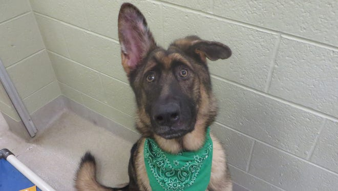 I'm Duke, a 1 1/2-year-old neutered male brown and black German Shepherd at the Humane Society of Vero Beach and Indian River County.