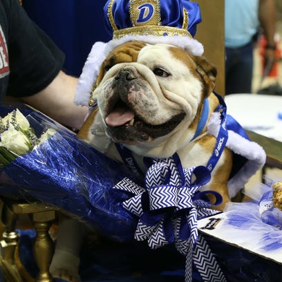 Scruffy, the 3-year-old bulldog from Lee's Summit, Missouri, decked out in a powder blue tuxedo, waits to compete in the 2015 Beautiful Bulldog Contest on Sunday, April 19, 2015 in the Knapp Center. Scruffy, owned by Elizabeth Ahrens was the second runner up in the competition.