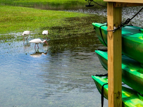 A flock of white ibis wade through standing water from