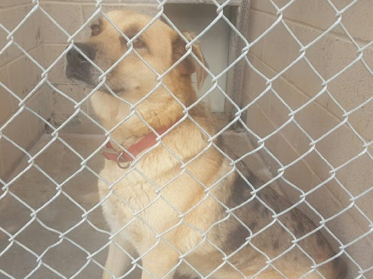 This shepherd mix is female and two years old. She is named Maggie. She was left in outside lock up with a note stating that owner had passed away. She is friendly, seems to be good with other animals, may be housebroken, seems to walk well with a leash and seems to be good with children. She is sponsored by Chaparral Kennel Club. For more information about adopting a Pet of the Week or other furry friends visit Alamogordo Animal Control, 2910 N. Florida Avenue, Monday through Saturday between noon and 5 p.m. or contact them at 439-4330.