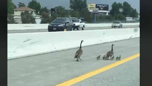 A family of Canada geese got marooned on Interstate 580 in South Reno on Wednesday, May 23, 2018. They were helped to safety by law enforcement.