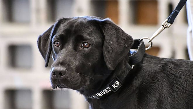 Lulu the labrador, a former bomb-sniffing dog recruit. was dropped from the program after she lost interest in finding explosives.
