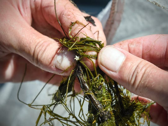 An example of starry stonewort removed Wednesday, Aug. 23, from an area near the public acces at Grand Lake near Rockville.