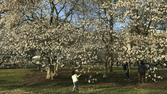 A girl looks at flowers in bloom in March in Washinton, D.C.