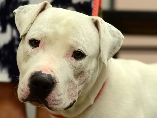 Bugz, the pit bull shown being abused in a video that went viral on social media, is recuperating well at the York County SPCA, Thursday Dec. 17, 2015. Bugz has a broken rib and some bruising but other than healing up from being neutered, he is doing well. (John A. Pavoncello - The York Dispatch)