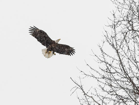 An eagle lands in a tree on the land the City of St.