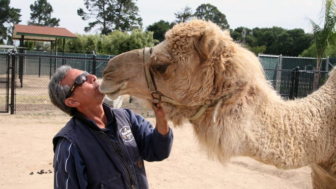 Charlie Sammut, director of the Monterey Zoo, gets a kiss from Tucker, a dromedary camel he raised from a calf.