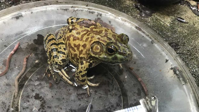 The resident frog of Kuiken Brothers in Midland Park