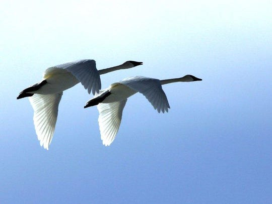 Geese fly over Freezout Lake. The first swans started
