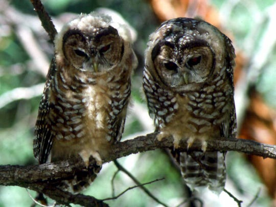 Two Mexican spotted owls are seen in the Huachuca Mountains near Sierra Vista. They are an endangered species.