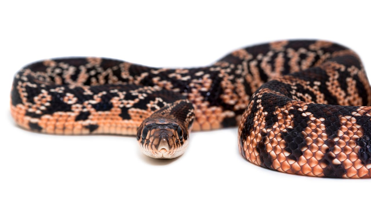 copperhead snake bites woman at longhorn steakhouse in virginia